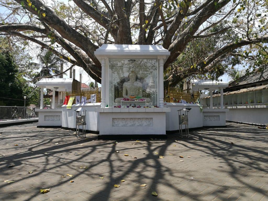 Sri Lanka Bodhi Baum