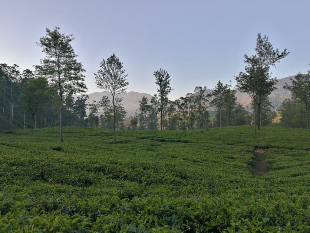 Tee Ceylon