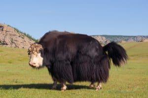 yak 4289750 1280 Mongolei