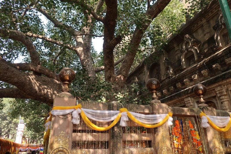 Buddhas Baum