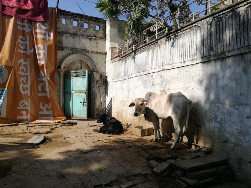 Varanasi, Heilige Kuh